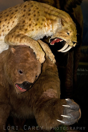 A life-size animated display showing a Saber-toothed cat (smilodon fatalis) attacking a Harlan's Ground Sloth (paramylodon harlani) at the George C. Page Museum, La Brea Tar Pits, Los Angeles, California.