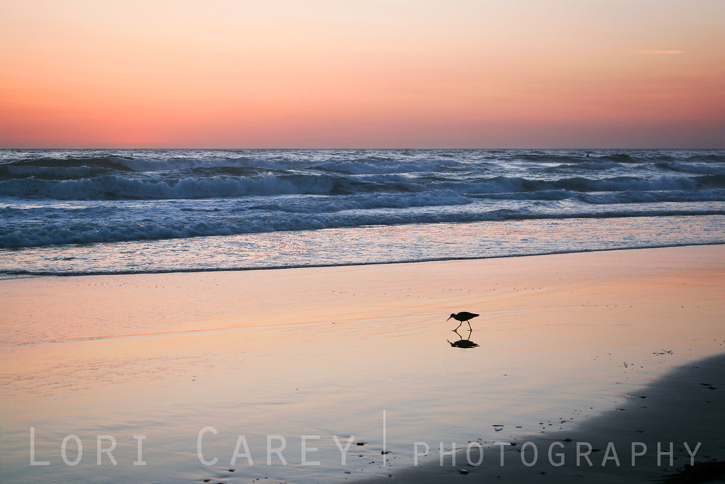 "Sandpiper reflected in the wet sand near sunset at Salt Creek Beach in Dana Point, California. <br><br> <a href='http://www.licensestream.com/LicenseStream/client/contentDisplay.aspx?cid=12368&fid=13081&l=r'><font color=""red"">License this Image</font></a>"