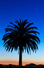 Canary Island Date Palm silhouetted against a sunset sky