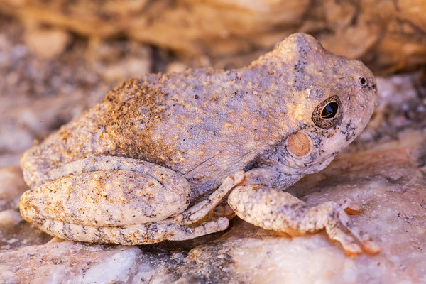 Canyon treefrog (Hyla arenicolor), Pima County, Arizona