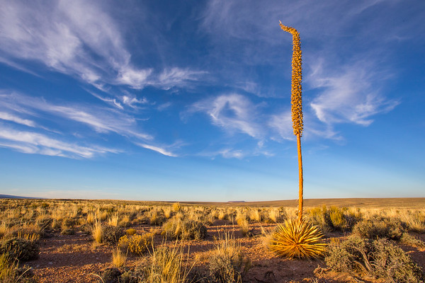Agave utahensis var. kaibabensis, Coconino County, Arizona