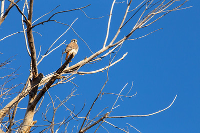 Female American kestrel (Falco sparverius), Buenos Aires National Wildlife Refuge, Pima County, Arizona