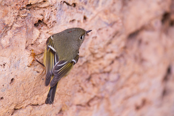 Ruby-crowned kinglet (Regulus calendula), Montezuma Well unit of Montezuma Castle National Monument, Yavapai County, Arizona