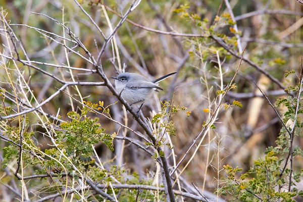 Blue-gray gnatcatcher (Polioptila caerulea), Agua Fria National Monument, Yavapai County, Arizona