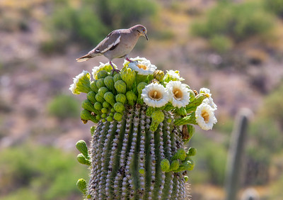 White-winged dove (Zenaida asiatica) on saguaro, Saguaro National Park, Pima County, Arizona