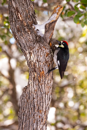Acorn woodpecker (Melanerpes formicivorus), Kitt Peak National Observatory, Pima County, Arizona