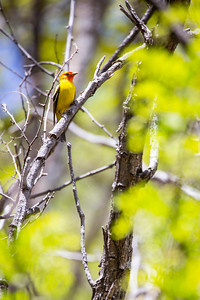 Western tanager (Piranga ludoviciana), Huachuca Mountains, Cochise County, Arizona