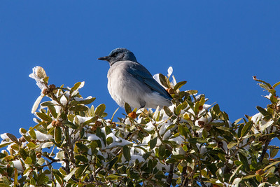 Mexican jay (Aphelocoma wollweberi), Kitt Peak National Observatory, Pima County, Arizona