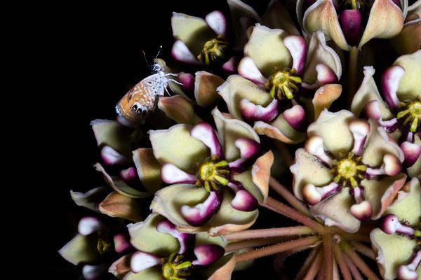 Antelope horns milkweed (Asclepias asperula) and Western pygmy blue (Brephidium exilis), Cochise County, Arizona