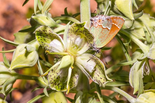 Juniper hairstreak (Callophrys gryneus) on monument plant/showy gentian (Frasera speciosa), Bears Ears National Monument, San Juan County, Utah