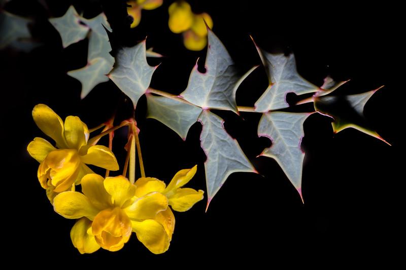 Mahonia fremontii, Fremont's barberry, Molen Reef, Utah