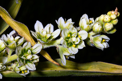 Veratrum californicum, California corn lily, Kingston Canyon, Toiyabe Range, Toiyabe National Forest, Landers County, Nevada