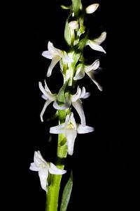 Platanthera dilatata, Great Basin National Park, White Pine County, Nevada