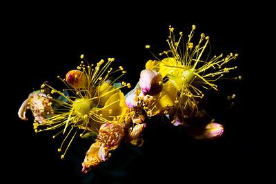 Hypericum scouleri, Scouler's St. Johnswort, Great Basin National Park, White Pine County, Nevada