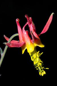 Aquilegia formosa, crimson columbine, Kingston Canyon, Toiyabe Range, Toiyabe National Forest, Landers County, Nevada