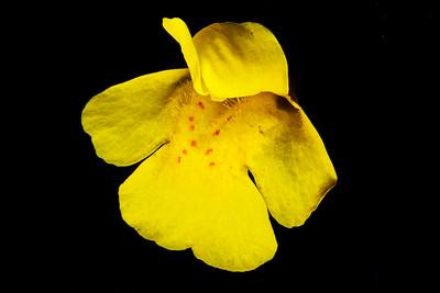 Mimulus tilingii, Tiling's monkeyflower, Great Basin National Park, White Pine County, Nevada