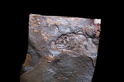 Knightia species with post-mortem spine deformation