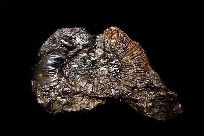 Cephalopod species, Emery County, Utah