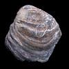 Inoceramus species, Emery County, Utah