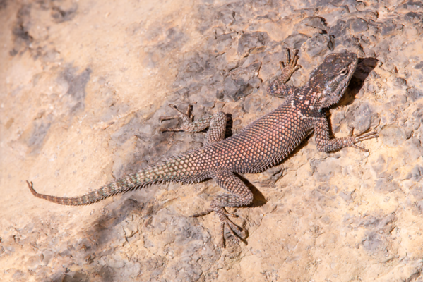 Sceloporus jarrovii (Yarrow's spiny lizard), Chiricahua National Monument, Basin and Range province, Cochise County, Arizona