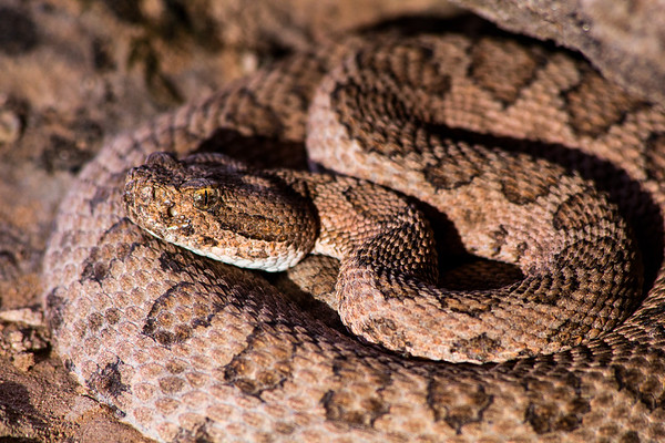 Midget faded rattlesnake (Crotalus oreganus concolor), Grand County, Utah