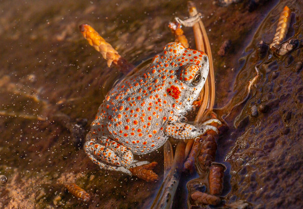 Red-spotted toad (Anaxyrus punctatus), Grand County, Utah