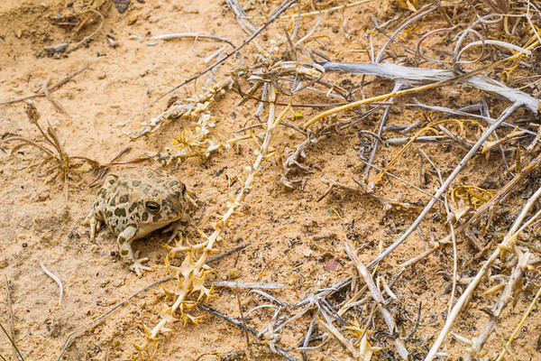 Great Plains Toad (Anaxyrus cognatus), San Rafael Swell, Emery County, Utah