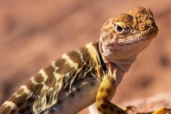 Juvenile Sonoran collared lizard (Crotaphytus nebrius), Superstition Mountains, Pinal County, Arizona