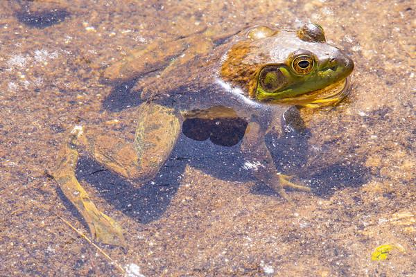 American bullfrog (Rana catesbeiana), Pima County, AZ
