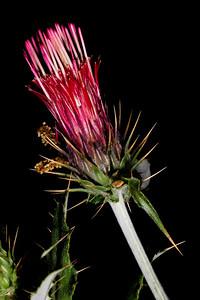 Arizona thistle (Cirsium arizonicum), Santa Cruz County, Arizona