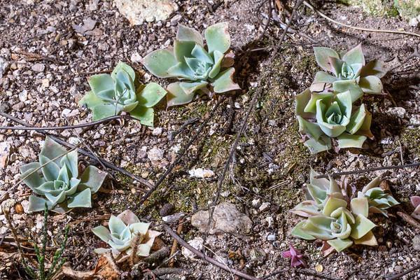 Patagonia Mountain leatherpetal (Graptopetalum bartramii), Santa Cruz County, Arizona