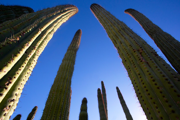 Organ pipe cactus (Stenocereus thurberi), Organ Pipe Cactus National Monument, Pima County, Arizona