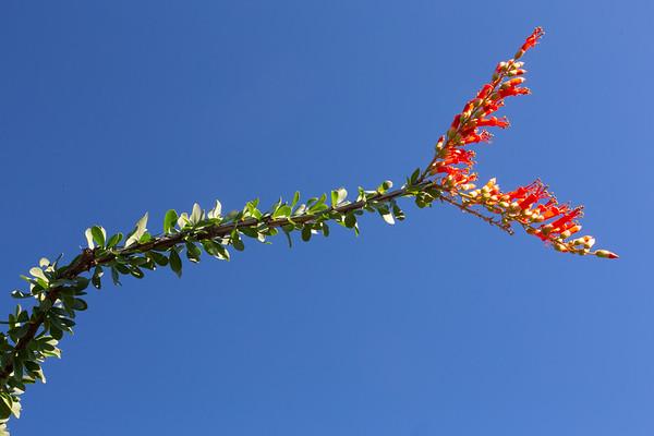 Ocotillo blooms (Fouquieria splendens), Organ Pipes Cactus National Monument, Pima County, Arizona