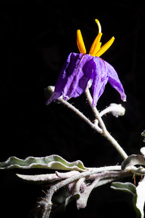Silverleaf nightshade (Solanum elaeagnifolium), Santa Cruz County, Arizona