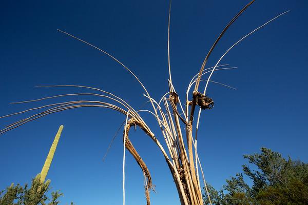 Saguaro ribs (Carnegiea gigantea), Organ Pipe Cactus National Monument, Pima County, Arizona
