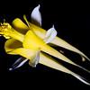 Aquilegia chrysantha, golden columbine, Zion National Park, Washington County, Utah