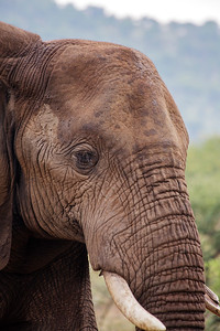 African Elephant In The Wild