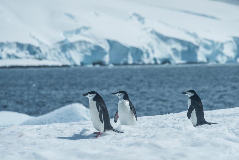 Gazing Little Chinstraps -  Cuverville Island, Antarctica