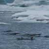 Penguins Swimming Next To Zodiac -  Paradise Harbour near Lemaire Channel, Antarctica