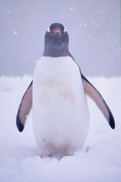 Penguin In Snow And Mist Barrientos Island in the South Shetlands, Antarctica Peninsula, Antarctica