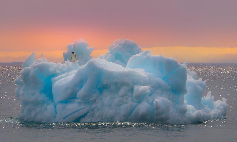 Penguin Waving At Ship Going By  -  Brown Bluff, Tabarin Peninsula,  Northern Antarctica