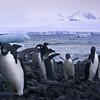 Penguins Coming At Ya -  Brown Bluff, Tabarin Peninsula,  Northern Antarctica