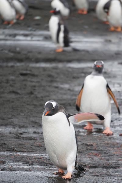 Penguins In Line Barrientos Island in the South Shetlands, Antarctica Peninsula, Antarctica
