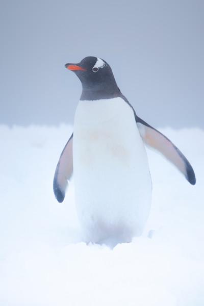 Penguin In Mist And Snow Barrientos Island in the South Shetlands, Antarctica Peninsula, Antarctica