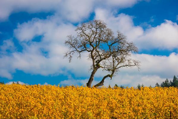 Amongst A Field Of Yellow - Willamette Valley, Oregon