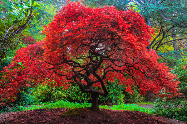 fall colors in kubota gardens seattle wa a blazing fire red japanese maple - Kubota Garden