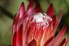 Protea Fuzz