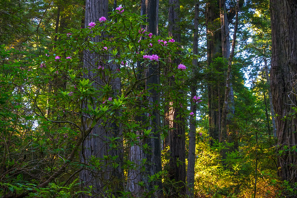 Rhodies On Fire - Redwoods, California