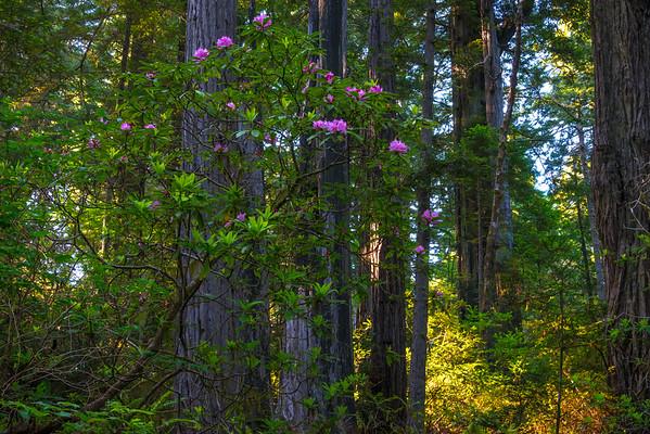Rhodies On Fire - Redwoods, California
