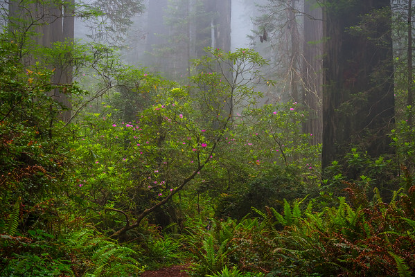 Faints Of Pink And Color - Redwoods. California